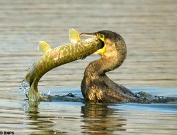 Action On Cormorants